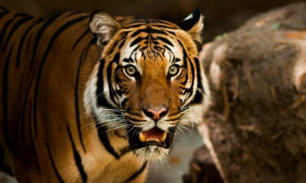 A Symbolic Dream about Tigers That Gave Me a Warning