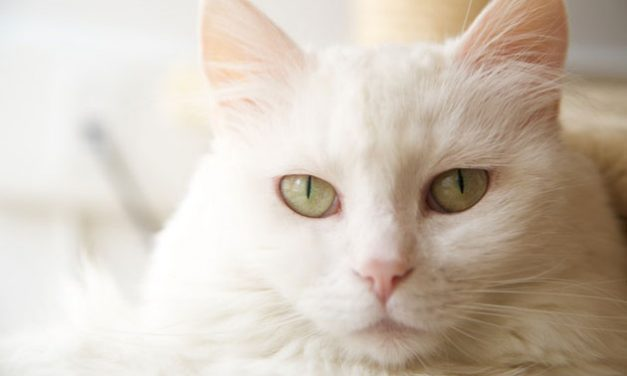 A Dream About a White Cat